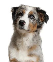 Portrait of Australian Shepherd, 5 months old