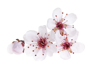 Photo sur Plexiglas Fleur de cerisier Cherry blossoms close up