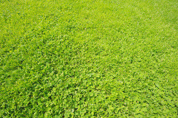 Close-up image of green grass and clover