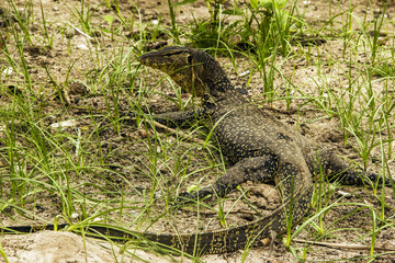 Water monitor (Varanus Salvator) on Tioman island, Malaysia
