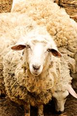 Curiosity sheep