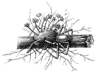 Cordyceps Engleriana, Perithecium and Conidium on the spider