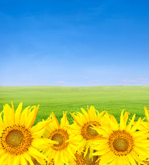 unflowers over green field and blue sky