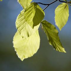 Green leaves, spring