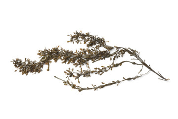 Branche of common seaweed
