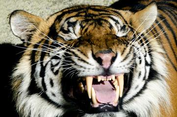Wildlife and Animals - Tiger