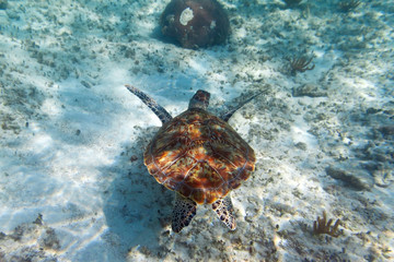Green turtle in nature of Caribbean sea