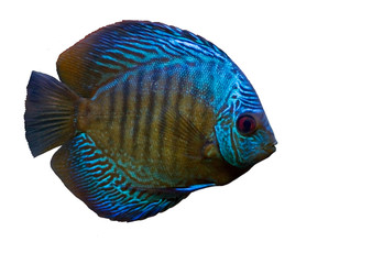 Blue fish isolated on white