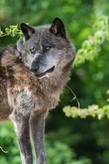 Wolf auf der Lichtung