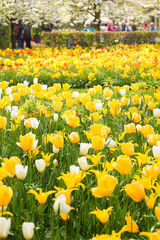 Yellow and white tulips in spring in park