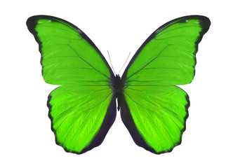 isolated on white green butterfly