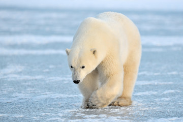 Foto auf AluDibond Eisbar Polar Bear walking on blue ice.