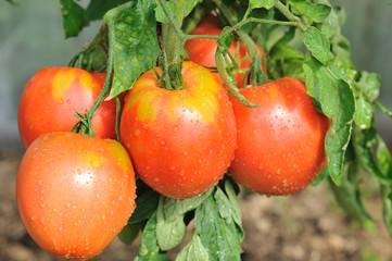 Крупным планом свежие красные помидоры на кусту