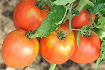 Свежие красные помидоры на кусту крупным планом