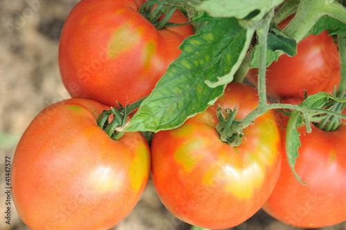 к чему снится собирать неспелую помидору основ…При