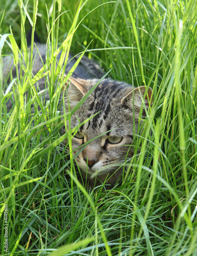 Chat dans l 39 herbe stock photo and royalty free images on pic 41456111 - Herbe a chat ...