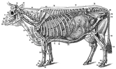 The structure of the cow (the skeleton and organs)