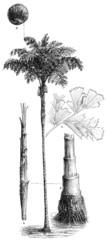 Palm Caryota urens.