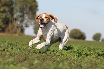 english pointer running on the field