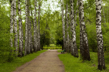 Aluminium Prints Birch Grove Spring in the forest