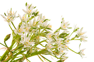 white flowers isolated