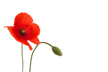 Foto op Canvas Poppy poppy flower