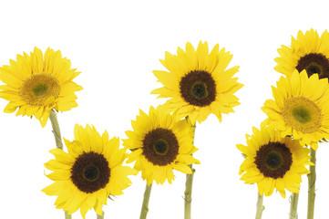 7 sunflower isolated on white background
