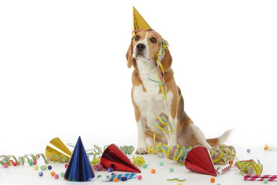 chien Beagle fête et cotillons