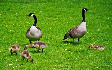 Gänse Familie