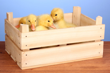 Duckling in crate on wooden table on blue background