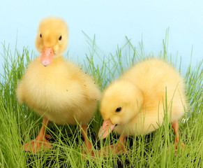 Duckling in green grass on blue background