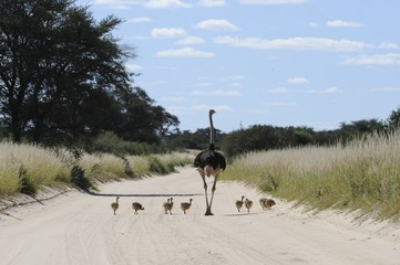 Ostrich (Struthio camelus). Male with chicks