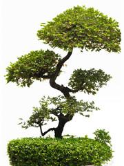 Bonfai tree.