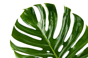 green leaf of Monstera plant