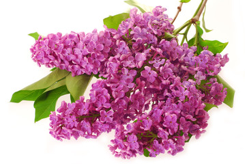 branch of purple lilac isolated on white