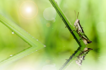 grasshopper macro in green nature