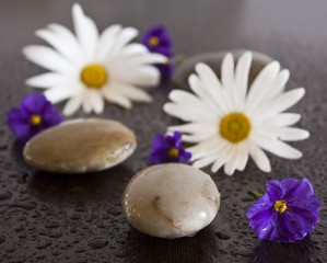 Acrylic Prints Daisies flowers and stones on wet wenge background