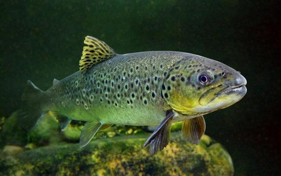 Underwater photo of The Brown Trout (Salmo Trutta).