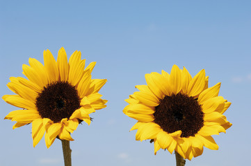 couple of sun flowers