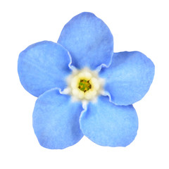 Forget-me-not Blue Flower Isolated on White