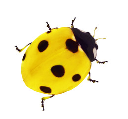 yellow seven ponts ladybird
