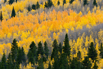 Colorful Fall Aspen Forest