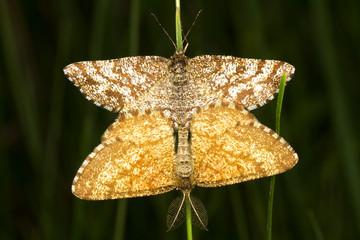 A Common Heath moth mating (Ematurga atomaria)