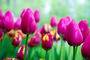 Romantic pink tulip flowers in spring garden