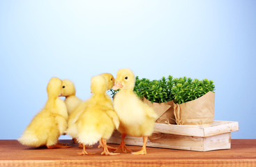 Duckling and bush on wooden table on blue background