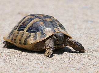 Hermann's Tortoise, turtle on sand,  testudo hermanni