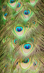 Closeup of beautiful peacock feathers