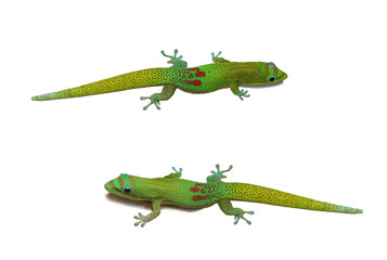 Two Gecko on isolated background