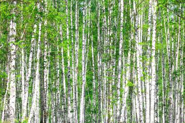Keuken foto achterwand Berkbosje Birch forest. May