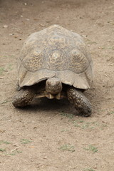 turtle into protected area in corse island